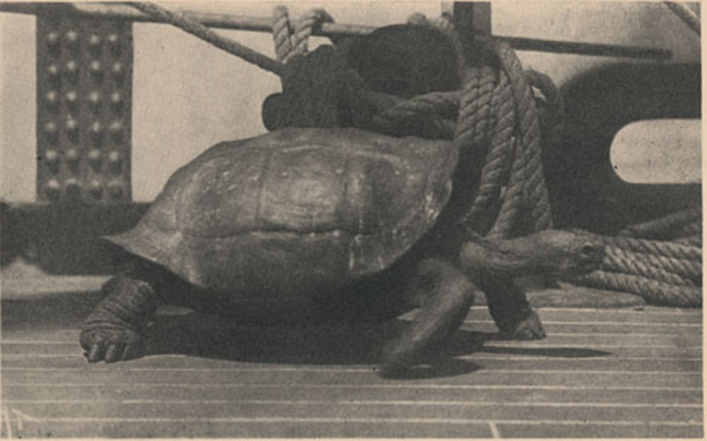 A galapagos tortoise on the deck of a whaleship.